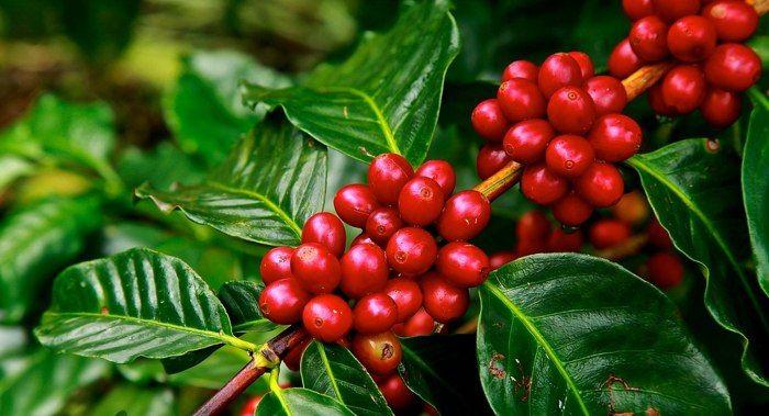 Arbore de cafea